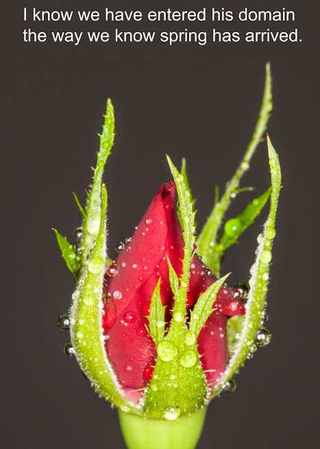 Rose bud macro shot sllose up